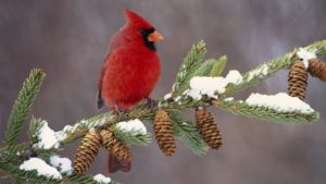 What Does It Mean When You See a Cardinal?